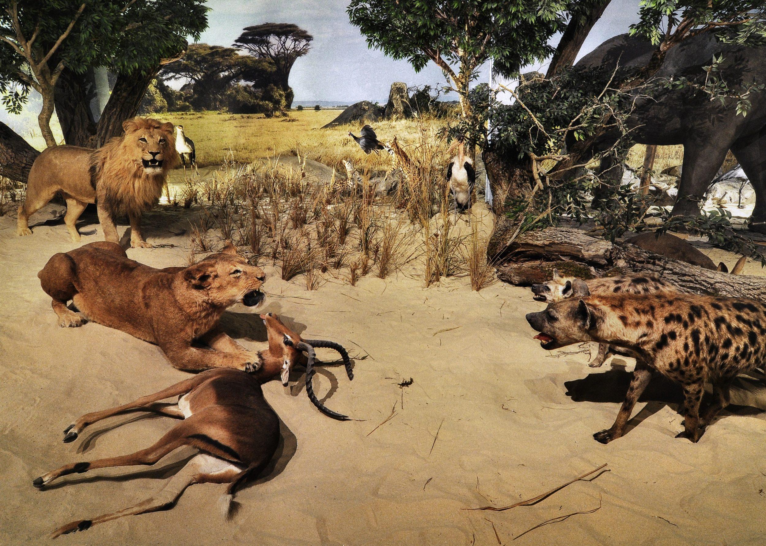Afrikan. Savanne Jäger 1