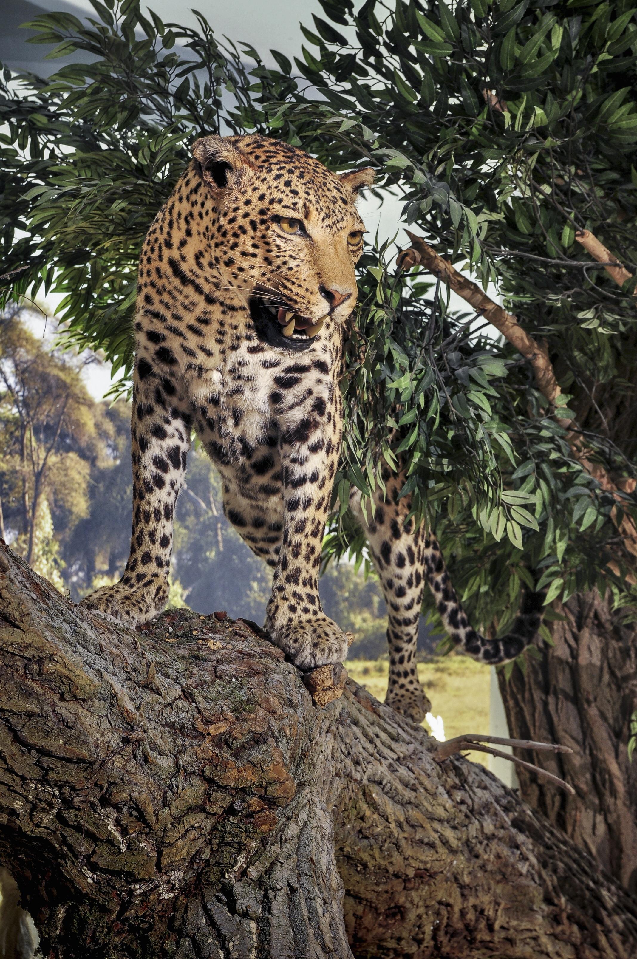 Afrikan. Savanne Leopard 1