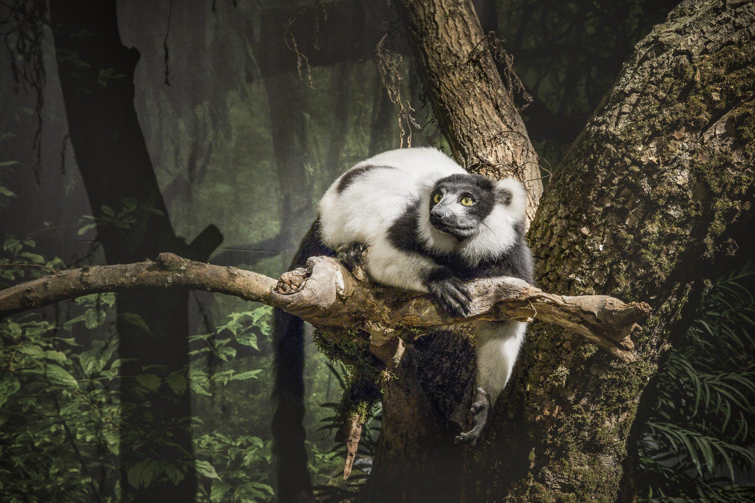 Madagaskar Varis