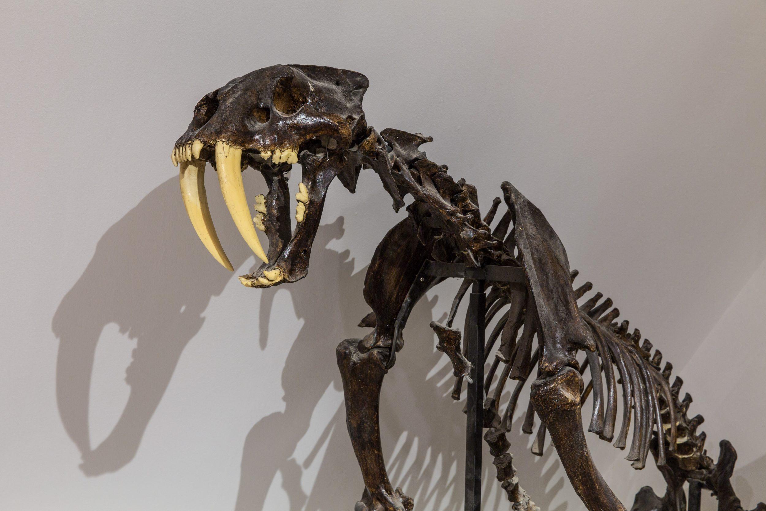 Säbelzahntiger Skelett