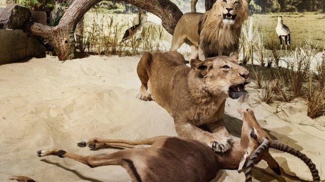 Afrikan. Savanne Jäger 2