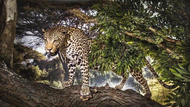 Afrikan. Savanne Leopard 2
