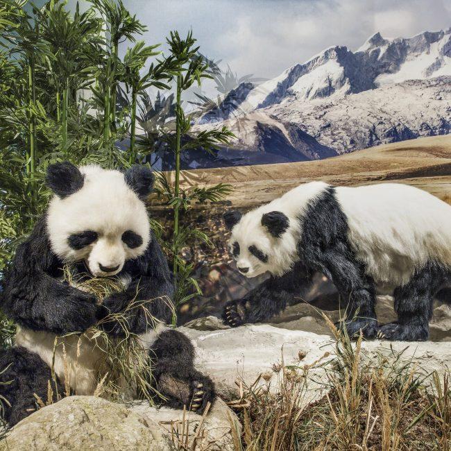 Klimascheide Himalaja Großer Panda