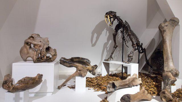 Knochen von Mammut, Säbelzahntiger, Nilpferd, Wollhaarnashorn