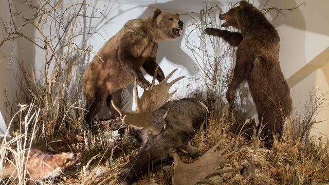 Bären mit Elch